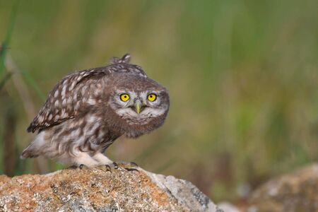 Young little owl, Athene noctua, stands on a stone and looks at the camera.
