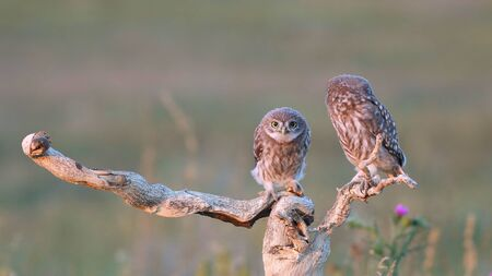 Two young Little owl, Athene noctua, stands on a stick on a beautiful background. Zdjęcie Seryjne