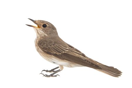 Spotted Flycatcher, Muscicapa striata, isolated on a white background.