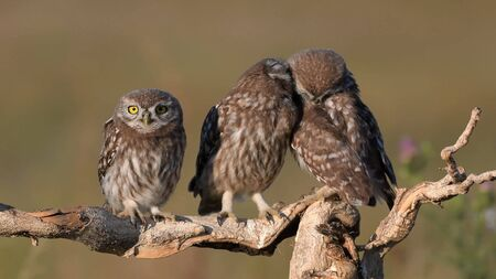 Three young Little owl, Athene noctua, stands on a stick on a beautiful background.
