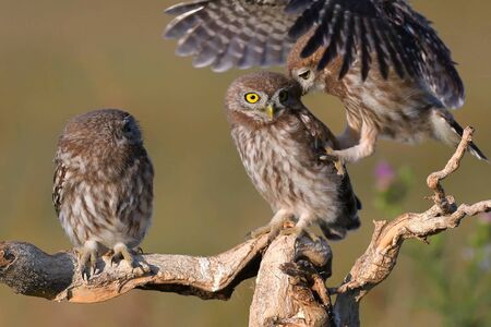 Three young Little owl, Athene noctua, stands on a stick on a beautiful background