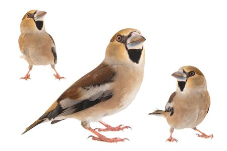 Collage of three Hawfinch, Coccothraustes coccothraustes, isolated on white background. Female