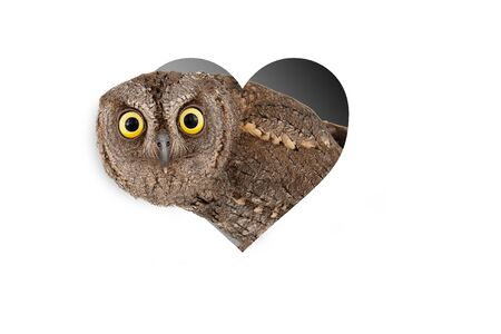 European scops owl, Otus scops, peeks out of a heart-shaped hole. Isolated on white background