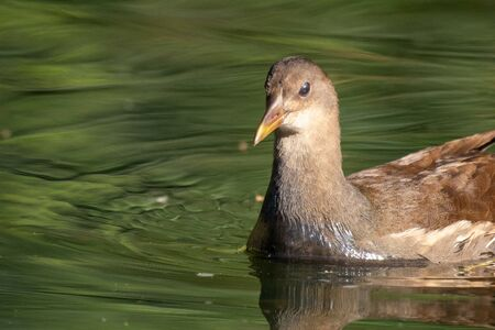 Portrait of a Young Common Moorhen in its natural habitat, Gallinula chloropus