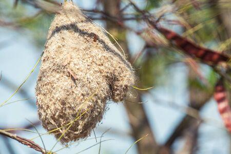 Nest of a Penduline Tit, Remiz pendulinus