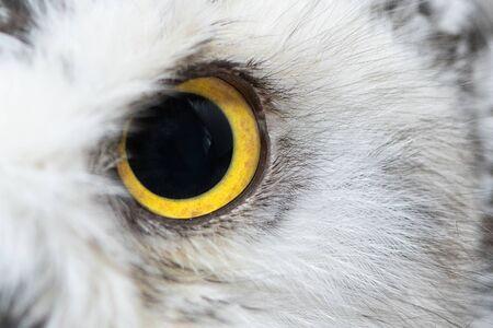 Owl eye close-up, eye of the Snowy Owl, Bubo scandiacus Stock fotó