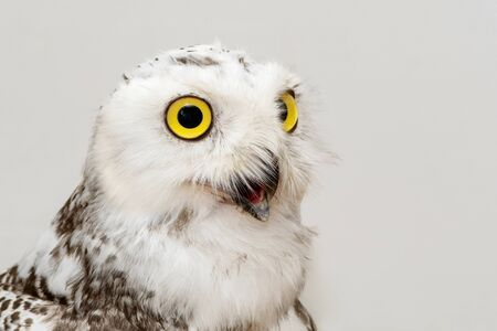 Portrait of the Snowy Owl, Bubo scandiacus. Close Up