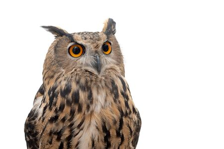 Portrait of the Eurasian Eagle Owl, bubo bubo. CLose up 写真素材