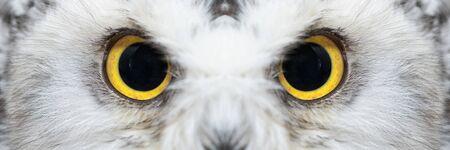 Owl eyes close-up, eyes of the Snowy Owl, Bubo scandiacus