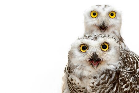 Two Snowy Owl on white background, Bubo scandiacus. Close Up