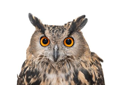 Portrait of the Eurasian Eagle Owl, bubo bubo. CLose up. Isolated on white background