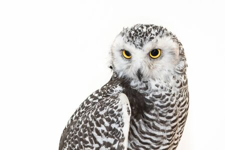 Portrait of the Snowy Owl, Bubo scandiacus. Close Up. Stockfoto