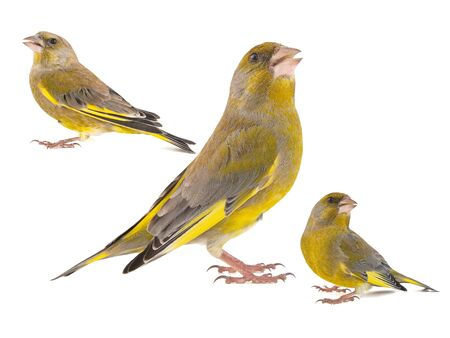 Collage of three Greenfinch isolated on a white background. Carduelis chloris.