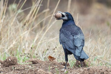 The rook, Corvus frugilegus, stands with a nut in its beak.