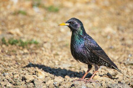 Common starling, Sturnus vulgaris, stands on the ground.