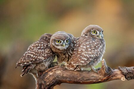Three young Little owls, Athene noctua, sitting on a stick pressed against each other. Stok Fotoğraf