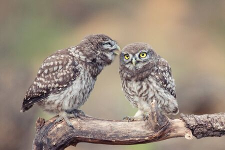 Two young Little owl, Athene noctua, stands on a stick on a beautiful background. Stok Fotoğraf