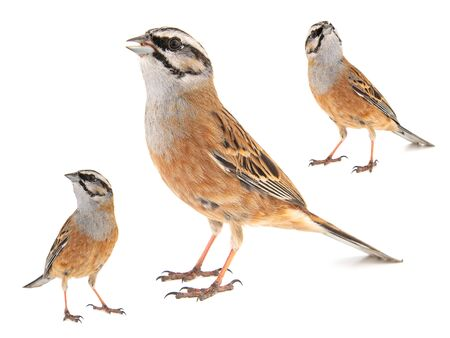 Collage of three Rock bunting, Emberiza cia, isolated on white background. Male