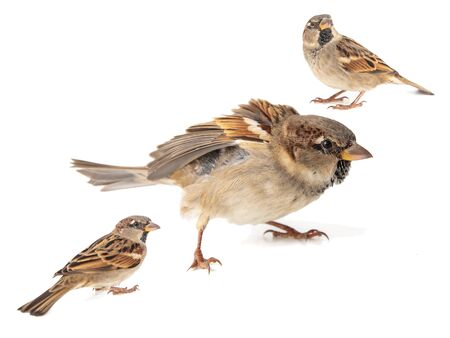 Collage of three House Sparrow, passer domesticus, isolated on a white background.