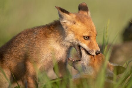 Two young red Foxes playing in the grass on a beautiful light. Stok Fotoğraf
