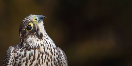Portrait of the Peregrine Falcon, Falco peregrinus. With copy space. These birds are the fastest animals in the world.