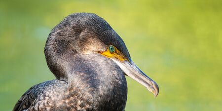 Portrait of Great Cormorant. Phalacrocorax carbo. Close up Stok Fotoğraf