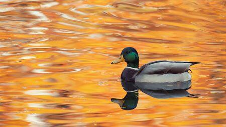 mallard duck on a beautiful water surface. Anas platyrhynchos. Male.