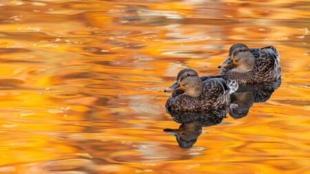Two mallard duck on a beautiful water surface. Anas platyrhynchos. Female. Stok Fotoğraf