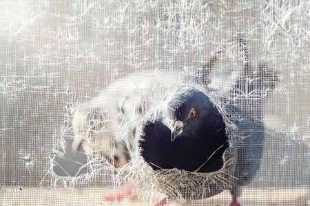 Pigeon peeks into a torn mosquito net. Columba livia.