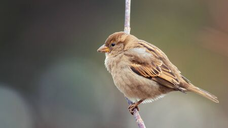 House Sparrow, Passer domesticus, sitting on a stick on a beautiful background. Stok Fotoğraf