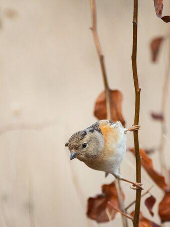 Brambling, Fringilla montifringilla, sitting on a stick on a beautiful background.