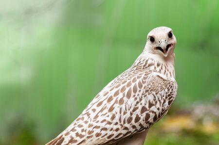 Portrait of a Gyr Falcon, Falco rusticolus, on a green background.