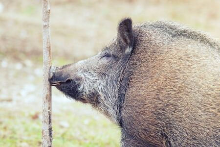 Close-up portrait of a boar. Wild boar sniffing the tree. Sus scrofa.