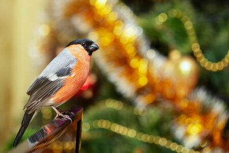 Bullfinch, Pyrrhula Pyrrhula, sits on the background of a Christmas tree with toys.
