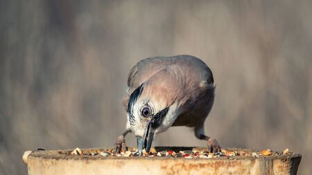 Eurasian jay, Garrulus glandarius, on the winter bird feeder.