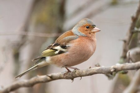 The Common Chaffinch, Fringilla coelebs, is in the wild nature.
