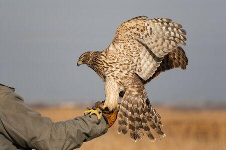 Hunting bird. Hunting with a Goshawk, Accipiter gentilis. Goshawk on the hunters hand.