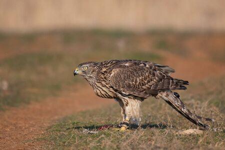 Falconeria. Ritratto ravvicinato di un falco con un trasmettitore di telemetria. Accipiter gentilis.
