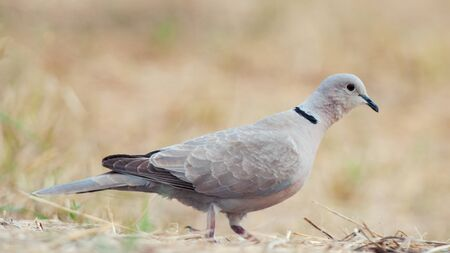 Collared pigeon, Streptopelia decaocto, sitting on the ground close up. Stok Fotoğraf