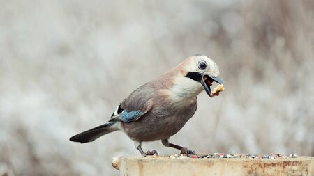 Eurasian jay, Garrulus glandarius, sitting on winter feeder with a nut in its beak.