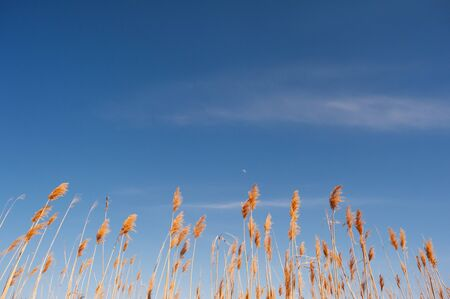 Photo of reeds against the blue sky.