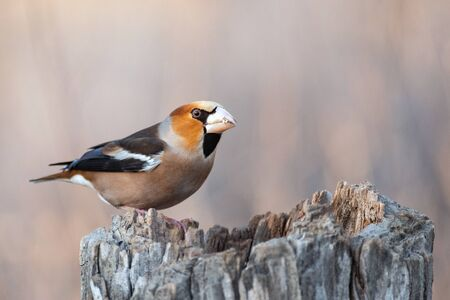 Hawfinch Coccothraustes coccothraustes bird in the forest on the feeder. Bird of Europe.