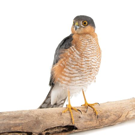 Male Sparrowhawk Accipiter nisus on a white background sits on a stick.