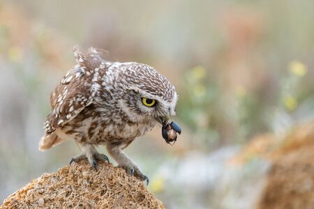 Little owl, Athene noctua, sitting on a rock with a beetle in its beak.