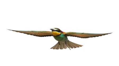 Bird of Paradise in flight isolated on a white background, bee-eaters. Merops Apiaster.