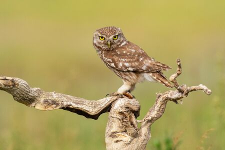 The Little Owl Athene noctua. Adult owl sits on a in the stick beautiful evening light. Portrait.