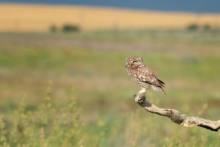 The Little Owl Athene noctua. Adult owl sits on a in the stick beautiful evening light.