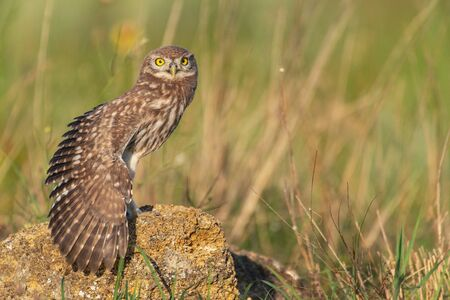 The Little Owl Athene noctua, a young owl sits on a rock with its wing open.