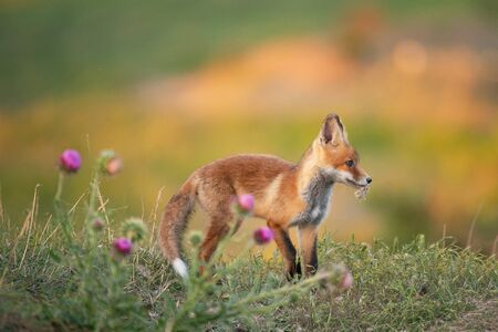 A young red Fox in a beautiful light. Vulpes vulpes.