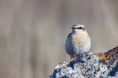 Northern Wheatear, Oenanthe oenanthe a bird sits on a rock.